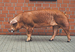 German Duroc