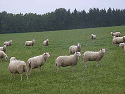 German Ostfrisian Milk Sheep