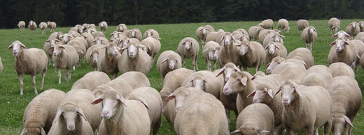 German Merinoland Sheep