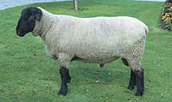 German Suffolk