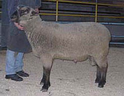 German Black Head Muttonsheep